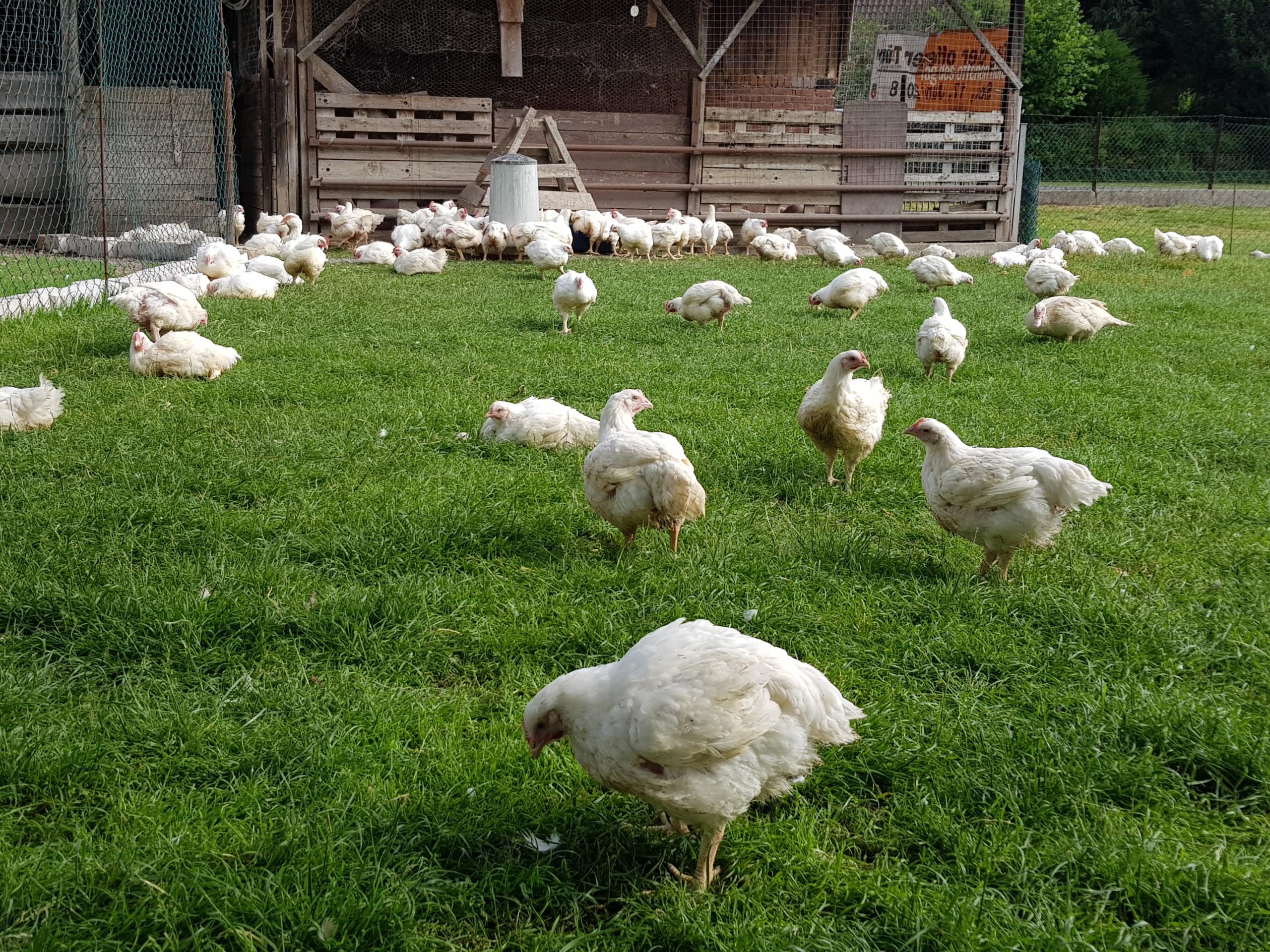 Homanns Hoferzeugnisse: Hähnchen in Freilandhaltung