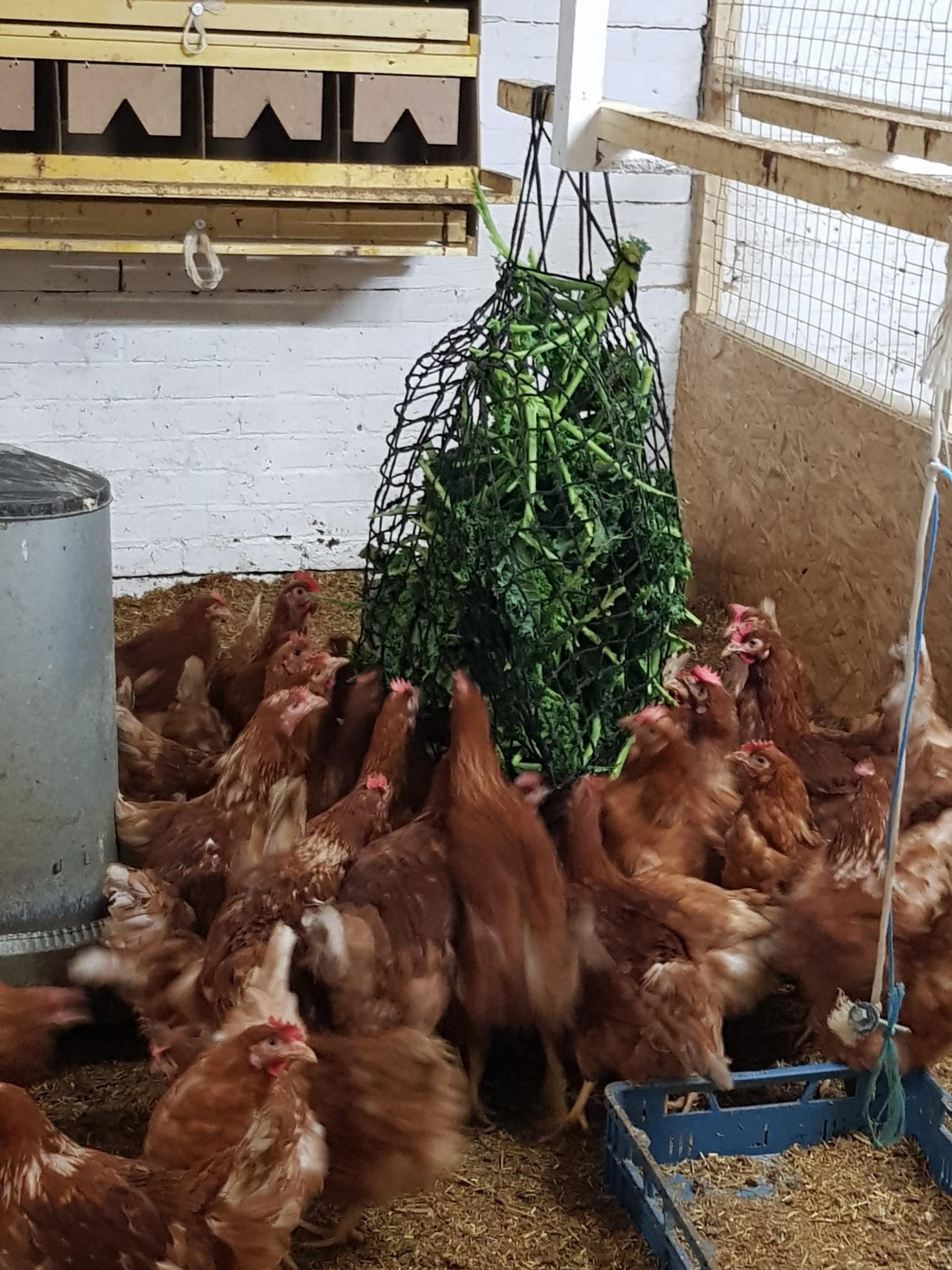 Homanns Hoferzeugnisse: Hühner im Stall
